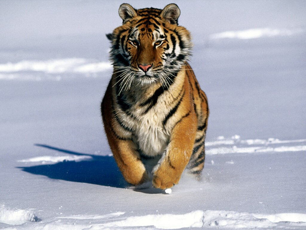 charge-siberian-tiger